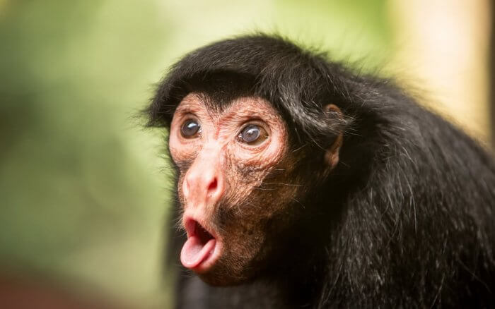 funny-monkey-making-pouting-face